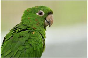 22.88x.White-Eyed Conure - White-Eyed Parakeet - Aratinga leucophthalma