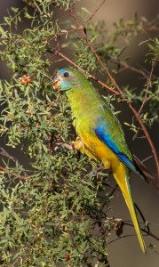 56.06.Turquoise Parrot [Chestnut-Shouldered Parakeet - Chestnut-Shouldered Grass Parakeet or Parrot - Chestnut-Winged Grass Parakeet or Parrot - Turquoisine Grass Parrot - Neophema pulchella
