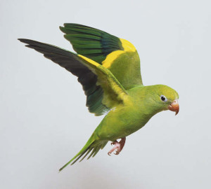 57.White-Winged Parakeet - Canary-Winged Parakeet - Brotogeris versicolurus