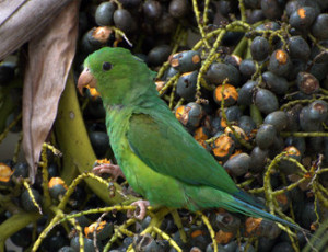58.Cobalt-Winged Parakeet - Brotogeris cyanoptera