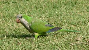 59.01.Monk Parakeet - Quaker Parrot - Myiopsitta monachus calita