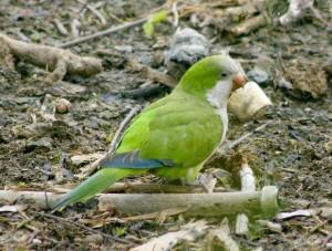 59.02.Monk Parakeet - Quaker Parrot - Myiopsitta monachus caotorra