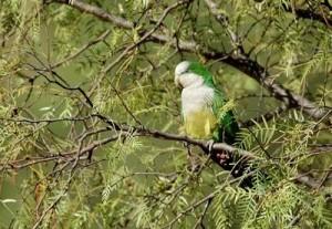59.03.Cliff Parakeet - Myiopsitta monachus luchsi