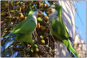 59.04.Monk Parakeet - Quaker Parrot - Myiopsitta monachus monachus
