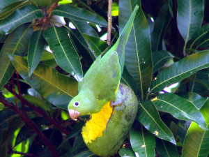 60.Golden-Winged Parakeet - Brotogeris chrysoptera