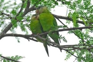 61.Grey-Cheeked  Parakeet - Fire-Winged Parakeet - Brotogeris pyrrhoptera