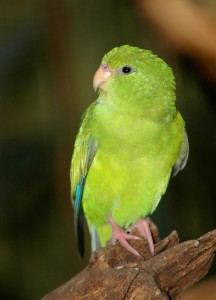 63.Mountain Parakeet - Psilopsiagon aurifrons