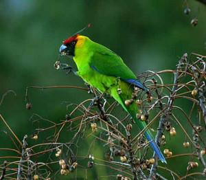 64.Horned Parakeet - Eunymphicus cornutus