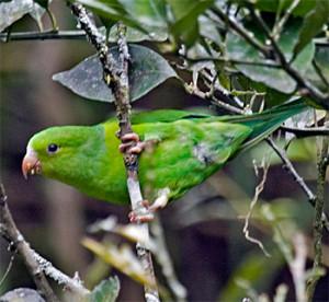 68.Plain Parakeet - Brotogeris tirica