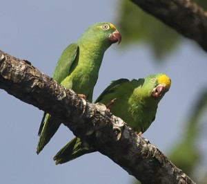 69.Tui Parakeet - Brotogeris sanctithomae