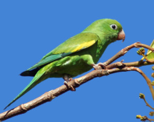 70.Yellow-Chevroned Parakeet - Brotogeris chiriri