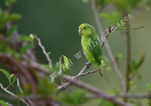 71.01.01c.Blue-Winged Parrotlet - Forpus xanthopterygius flavissimus
