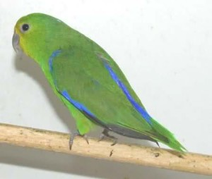 71.01.01d.Blue-Winged Parrotlet - Forpus xanthopterygius olallae