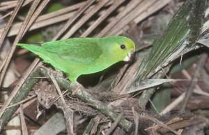 71.01.02.Dusky-Billed Parrotlet - Sclater's Parrotlet - Forpus modestus