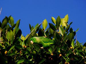 71.01.03a.Schlegel's Parrotlet - Forpus passerinus cyanochlorus