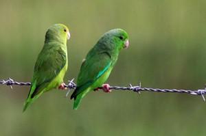 71.01.03d.Green-Rumped Parrotlet - Forpus passerinus passerinus