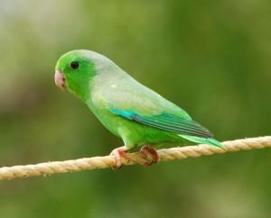 71.01.03e.Venezuelan Green Parrotlet - Forpus passerinus viridissimus