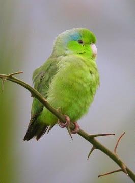 71.01.05.Pacific Parrotlet - Celestial Parrotlet - Lesson's Parrotlet - Forpus coelestis