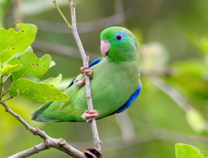 71.01.06.Spectacled Parrotlet - Forpus conspicillatus