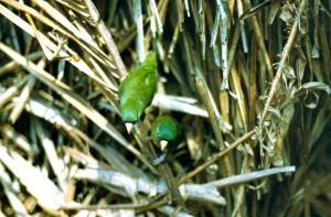 71.02.01.Manu Parrotlet - Amazonian Parrotlet - Nannopsittaca dachilleae