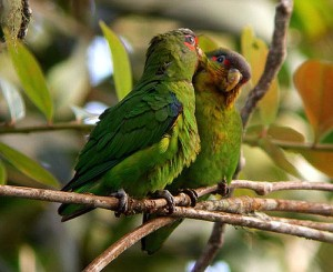 71.03.01.Blue-Fronted Parrotlet - Red-Winged Parrotlet - Touit dilectissimus