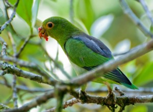 71.03.02.Brown-Backed Parrotlet - Black-Backed Parrotlet - Black-Eared Parrotlet - Wied's Parrotlet -Touit melanonota
