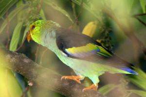 71.03.04.Lilac-Tailed Parrotlet - Touit batavicus