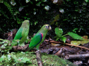 71.03.07.Scarlet-Shouldered Parrotlet - Touit huetii