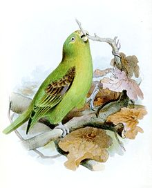 71.03.08.Spot-Winged Parrotlet - Touit stictopterus