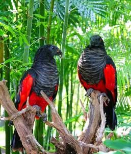 72.Pesquet's Parrot - Vulturine Parrot - Psittrichas fulgidus