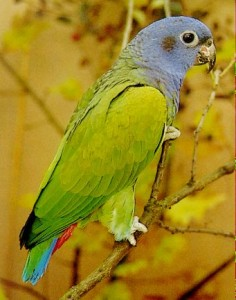 73.01a.Blue-Headed Parrot - Blue-Headed Pionus - Pionus menstruus menstruus
