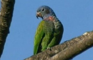 73.01b.Paler Blue-Headed Parrot - Paler Blue-Headed Pionus - Pionus menstruus rubrigularis