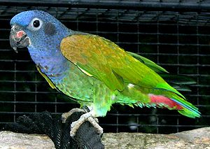 73.01c.Reichenow's Blue-Headed Parrot - Reichenow's Blue-Headed Pionus - Pionus menstruus reichenowi