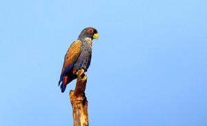 73.02a.Bronze-Winged Parrot - Bronze-Winged Pionus - Pionus chalcopterus chalcopterus