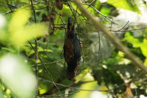 73.02b.Bronze-Winged Parrot - Bronze-Winged Pionus - Pionus chalcopterus cyanescens
