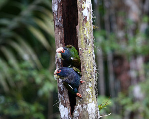 73.07.White-Crowned Parrot - White-Crowned Pionus - Pionus senilis