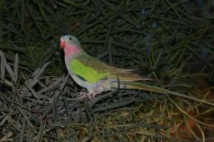 74.Princess Parrot - Queen Alexandra Parrot - Queen Alexandra Parakeet - Alexandra's Parakeet - Princess of Wales Parakeet - Rose-Throated Parakeet - Spinifex Parrot -Polytelis alexandrae